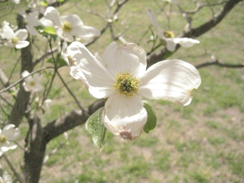 Flowering Dogwood Closeup
