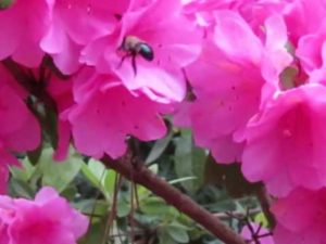 azalea-with-bee
